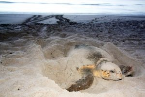 A sea turtle covered in sand - Where can I see sea turtles in 30A Florida? Dune Allen Beach.